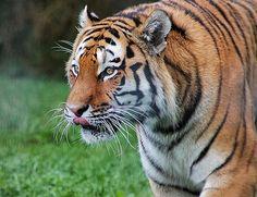 Tiger Tiger..... - http://www.1pic4u.com/blog/2014/10/07/tiger-tiger-7/