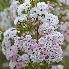 Dancing Queen Waxflower Light Pink Flowers, Dancing, Queen, Floral, Plants, Wedding, Board, Valentines Day Weddings, Dance