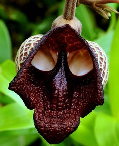 Darth Vader - Aristolochia Salvadorensis Orchid  Wow! The force is strong with this one!