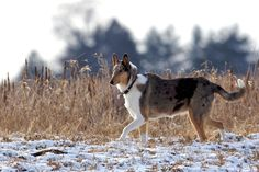 SMOOTH COLLIE- I can def see this in our kansas life :)