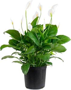 Peace lily. NASA found to be the best indoor houseplant for removing VOCs