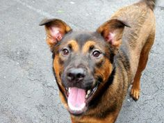 TO BE DESTROYED 6/5/14 Manhattan Center   My name is GUCCI. My Animal ID # is A0978823. I am a neutered male black and brown germ shepherd and rottweiler mix. The shelter thinks I am about 11 MONTHS old.  I came in the shelter as a OWNER SUR on 05/27/2014 from NY 11102, owner surrender reason stated was NO TIME.  https://www.facebook.com/photo.php?fbid=811899605489587&set=a.611290788883804.1073741851.152876678058553&type=3&theater