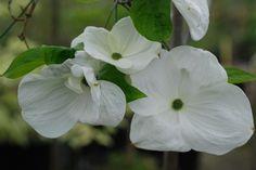Cornus Eddie's White Wonder (ombre)