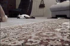 16 #Funny GIFs of #Cats Playing on Carpets