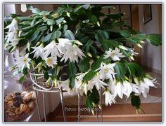 Yılbaşı Çiçeği | Özellikleri | Bakımı - Sayfa 3 - Forum Gerçek Cactus Plants, Terrarium, Farmer, House Design, Christmas Cactus, African Violet, African, Succulents, Plant