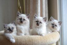 Nestje Heilige Birmaan Kittens