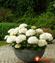 Backyard Garden With Potted White Hydrangeas Caring Tips For Potted Hydrangea Plants In Kitchen Category Container Plants, Container Gardening, Gardening Tips, Gardening Zones, Gardening Direct, Gardening Supplies, Organic Gardening, The Secret Garden, Pot Jardin