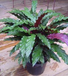 calathea houseplant | Excelsa Gardens - Product Listing