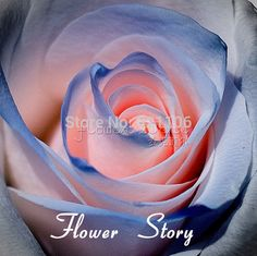 20 Blue and Pink Rose Seeds rare color rich aroma DIY Home Garden Rose Rare Flowers, Exotic Flowers, Amazing Flowers, Beautiful Roses, Beautiful Flowers, Beautiful Pictures, Coming Up Roses, Planting Roses, Garden Seeds