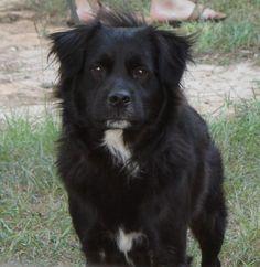 #Lostdog10-27-15 #Dawsonville #GA Mix Black and White Intact Male 4-7 Years Old 76-100 LBS Black Long Hair Bill White nana1458@aol.com 770-256-2030 USLostDogRegistry.com