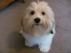 Havanese puppy for sale near Indianapolis, Indiana ...
