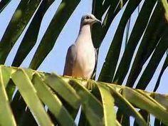 Pássaro Xororó - Pesquisa Google