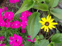 Black-eyed Susan and Dianthus
