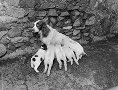 A Welsh Spaniel bitch rearing piglets at Brynafon, Angelsey   1960