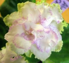 African Violet ~  Aly's Crinolines | eBay (A. Droege) Double white star/lavender-pink fantasy band, green and lavender frilled edge. Medium green, quilted, heart-shaped. Standard