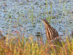 http://faaxaal.forumactif.com/t4783-photos-d-oiseaux-echassiers-butor-d-amerique-botaurus-lentiginosus-american-bittern