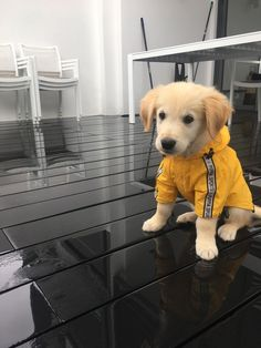 Henry, my Golden retriever puppy wearing his little yellow raincoat sitting in the rain.