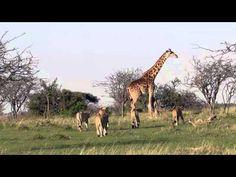 Incrível vídeo de uma girafa defendendo seu filhote recém-nascido dos leões. É amor de mãe ou é culpa da genética?