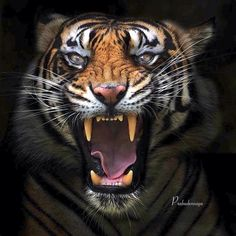 Mean as a Tiger