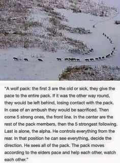A Wolf Pack. I think it's so wonderfull that wolfs have this natural instinct! Animals And Pets, Funny Animals, Cute Animals, Wild Animals, The More You Know, Good To Know, Beautiful Creatures, Animals Beautiful, Beautiful Wolves