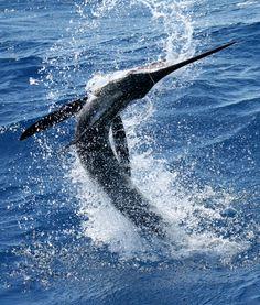 Deep Sea Fishing for Marlin off the coast of Cabo San Lucas Mexico