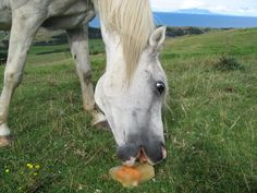 Freeze a treat for your horse or goats to lick on a hot day! Clean an empty ice cream container, nearly fill the container with water and mix molasses treacle or golden syrup into the water. Chop fresh fruits or vegetables that are safe for your horse, such as carrots, apples or turnips and place the solid treats in the water. Allow the treat to freeze, run warm water over the ice cream container to loosen the treat and place the horse lick on the grass or a pile of hay.