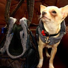 Zenon w ekstra kurteczce,pozujący koło swojej torby uszytej przez beeba.pl