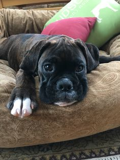 Boxer, adorable puppy