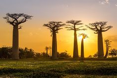 Avenue of the Baobabs, Madagascar!