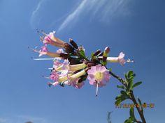 Kantu  o Kantuta: Kantua buxifolia juss; crece en las serranías del Cusco - Perú.
