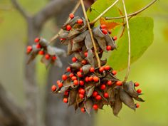 List of poisonous plants Pakistan Food, Pakistan Travel, Rosary Pea, Clematis Paniculata, Trees To Plant, Plant Leaves, Tanzania Food, Lantana Camara, Poisonous Plants