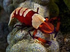 The emperor shrimp (Periclimenes imperator) is a species of shrimp with a wide distribution across the Indo-Pacific.