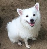 About Us - Our Mascots  Blake, American Eskimo  #Mascot #FamilyInnovators #AmericanEskimo #Dog #Blake #ScrubOnTheRun