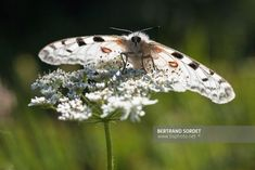 APOLLON Image Nature, Bertrand, Insects, Images, Animals, Tights, Environment, Photography, Animales