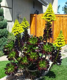 Geranium Street Floral - Google+Aeonium 'Cyclops'...another Stunning Succulent also Blooming!