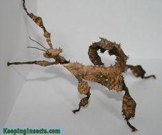 Extatosoma tiaratum, prickly stick