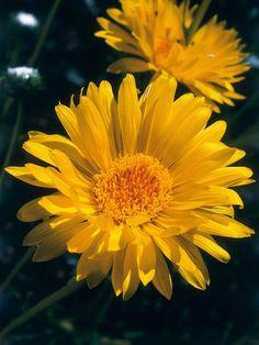 Medium-Sized Plants for Sun : Outdoors : Home & Garden Television Fall Perennials, Full Sun Perennials, Sun Plants, Day Lilies, Flower Power, Home And Garden, Outdoors, Landscape, Patio Ideas