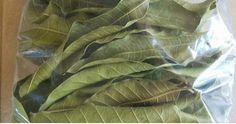 Conoce los grandes beneficios de las hojas de mango para la diabetes