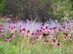 Piet Oudolf at RHS Wisley - Echinacea and Perovskia