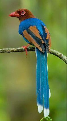 Sri Lanka Blue Magpie,Ceylon Magpie