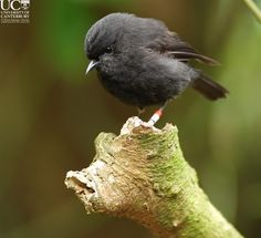 Black Robin on Rangatira Island, which is part of the Chatham Islands off the East Coast of New Zealand. The black robin is an endangered species.