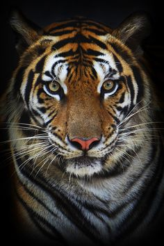 Tiger standing and ready to attack wallpaper | Tigers ...