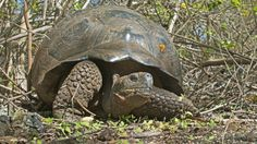 Mashable: Galapagos Islands and nine more world adventures to do before they go extinct Endangered Species: Giant Tortoise, threatened by cattle (competing for grazing vegetation), cats and dogs (preying on young) IMAGE: FLICKR, BRIAN GRATWICKE