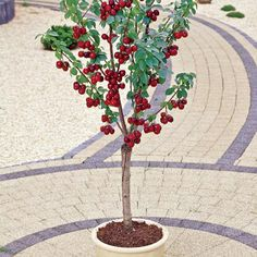 Mighty Midget Dwarf Sweet Cherry. This rare miniature cherry tree only grows…
