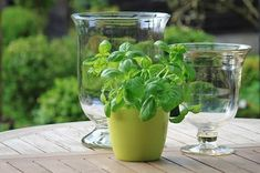 Herb Garden In Kitchen, Kitchen Herbs, Plants That Repel Spiders, Natural Spider Repellant, Basil Health Benefits, Growing Raspberries, Mosquitos, Basil Leaves, Edible Arrangements