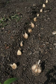 Sticking cloves of garlic - sowing / propagation - gardening tips .- Knoblauchzehen stecken – Aussaat / Vermehrung – Gartentipps – Tipps & Wissenswertes Planting and harvesting garlic – Instructions - Vegetable Planters, Container Gardening Vegetables, Planting Vegetables, Container Plants, Growing Vegetables, Garden Types, Herb Garden Design, Vegetable Garden Design, Garden Pots