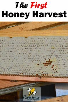 Learn how to harvest honey from a beehive. A guide for knowing when the honey is ready and how to take if from the hive without harming the bees. How To Start Beekeeping, Beekeeping For Beginners, Honey Bee Hives, Honey Bees, Harvesting Honey, Rainwater Harvesting, Honey Extractor, Buzzy Bee, Raising Backyard Chickens