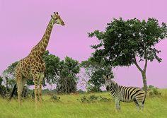 Africa, where the original safari is