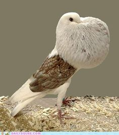 Pouter Pigeon showing off