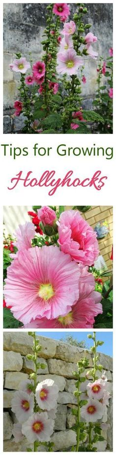 If you love perennial plants with a long blooming season, you will likely have a fondness for growing hollyhocks. This lovely perennial is a popular garden favorite that flowers throughout most of the summer months. Hollyhocks (Puccinia malvacearum) are often found in cottage gardens. They m...